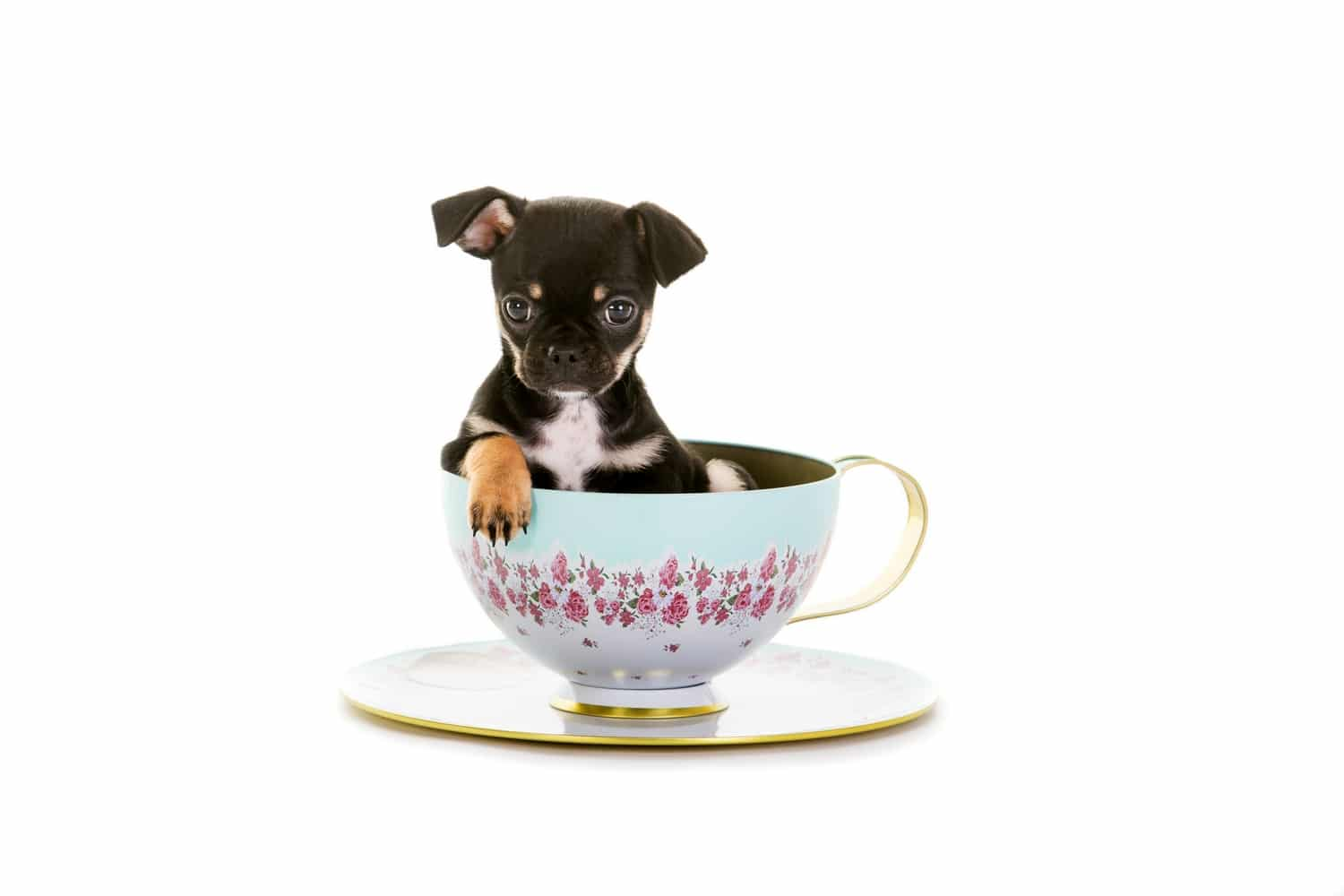 Chug dog sat in a cup and saucer