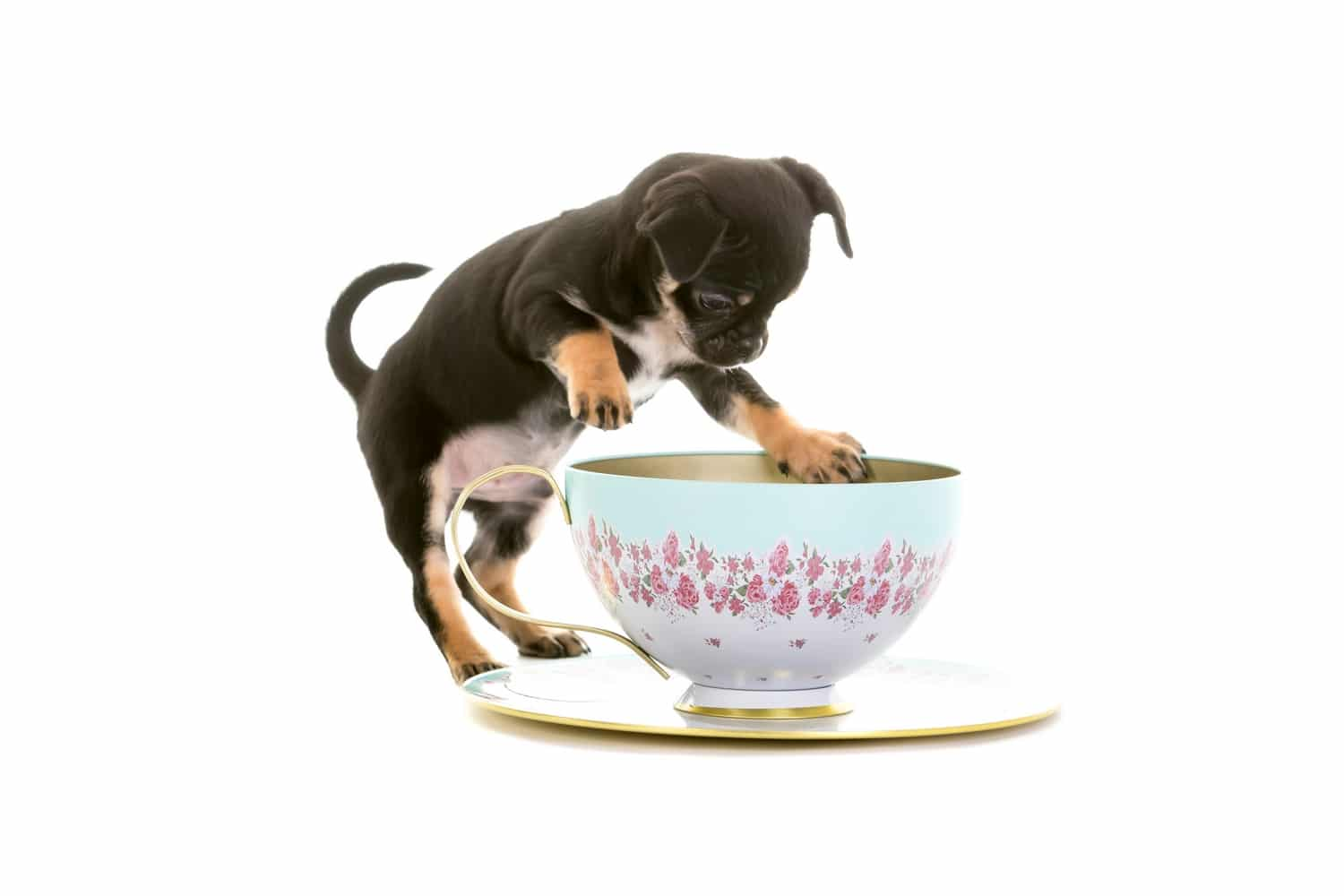 Chug dog getting into a cup and saucer