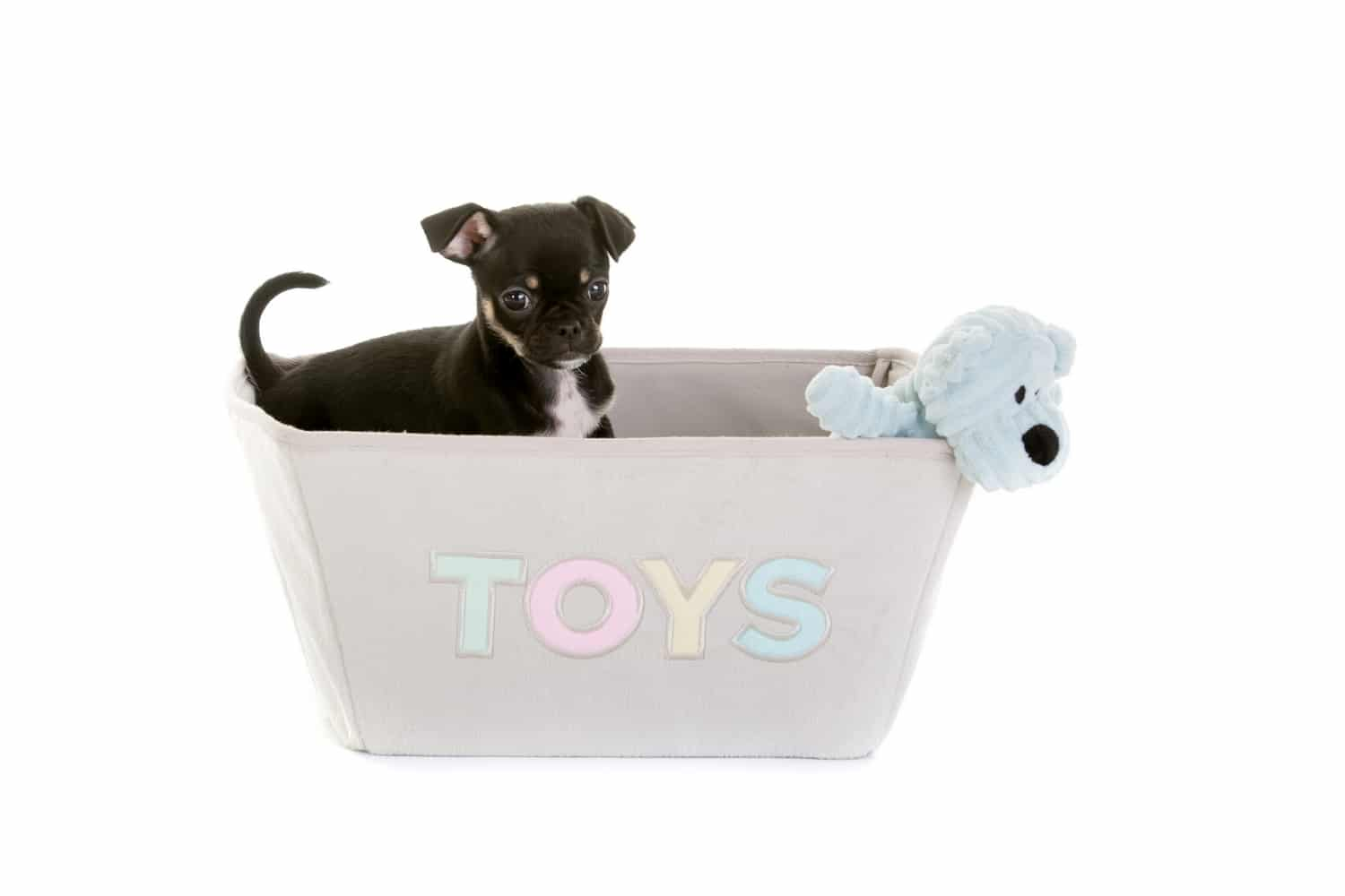 Chug dog in a toy basket