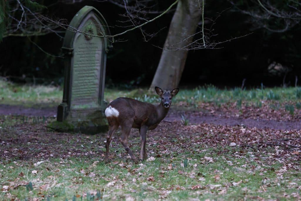 Roe Deer in Carlisle Cemetery
