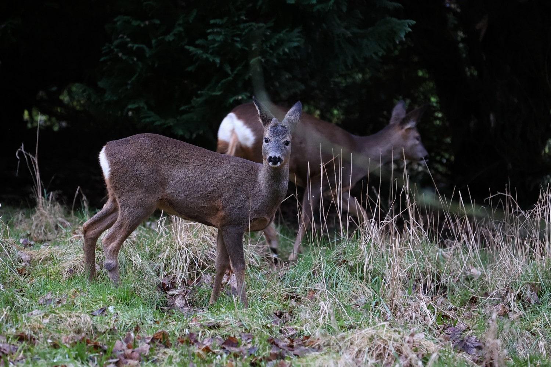 Roe Deer Photographed in Carlisle