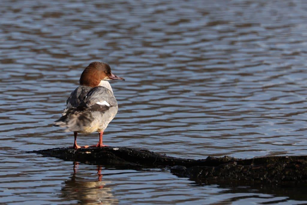 Wildlife Photography at Hammonds Pond Carlisle