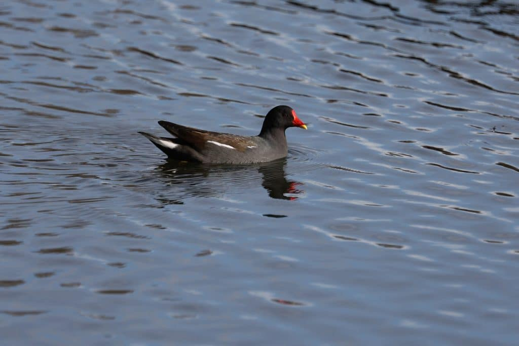 Ducks on Hammonds Pond, Carlisle