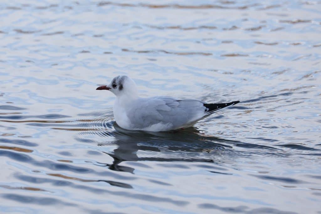 A gull on Hammonds Park, Carlisle