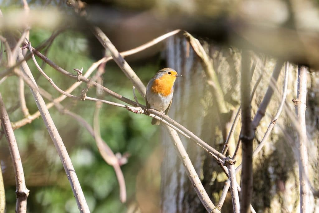 Robin on a branch in a wildlife photograph taken in Carlisle