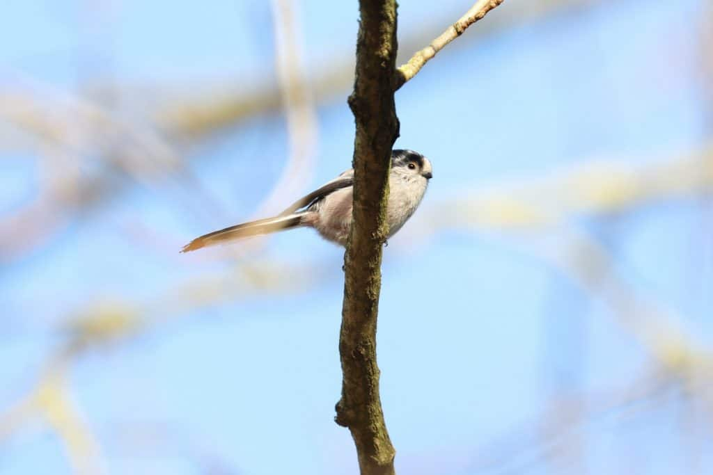 Long Tail Tit photographed in a Carlisle Park